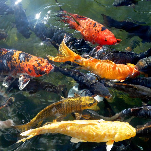 Creative landscaping a few things to consider before for Koi fish pond help